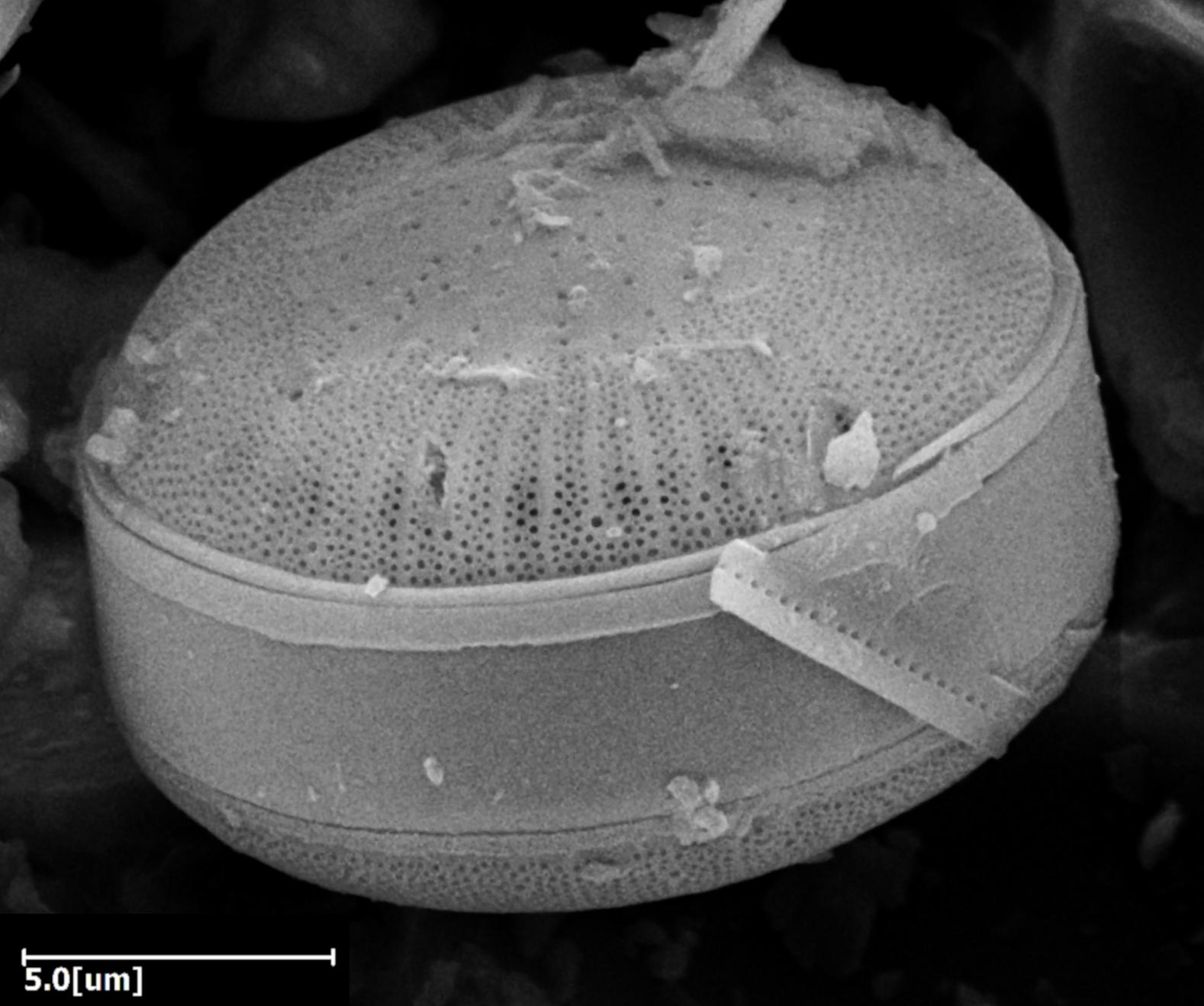 Mikrofossil Diatomee in Vulkanasche SEM-EDX (Podosira)